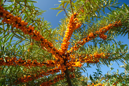 Seabuckthorn Fruit Oil